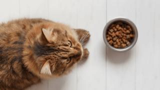 キャットフードを食べない茶色の長毛種の猫