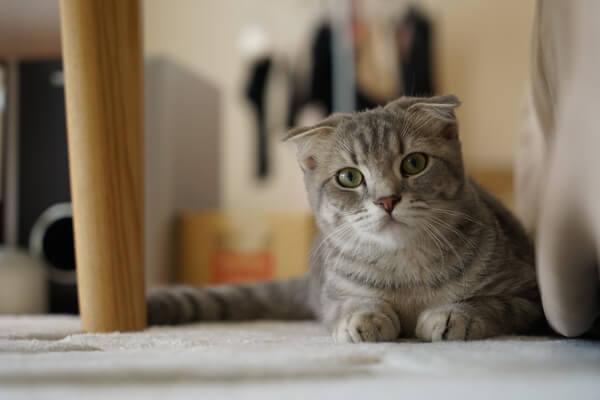 ストレスで吐いてしまう猫が机の下に隠れている