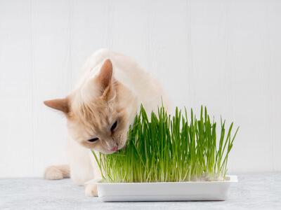猫草を食べる薄茶色の猫