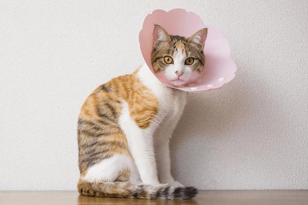 ピンクのエリザベスカラーを付けている猫