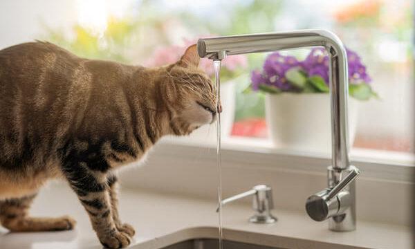 台所にある水道水を飲みすぎる猫