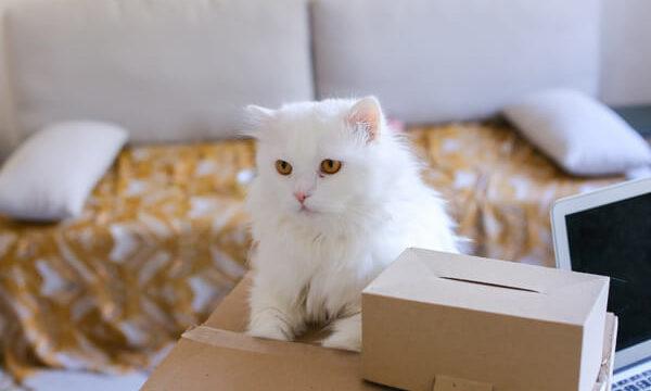 引っ越しに対してストレスを抱えている白い猫