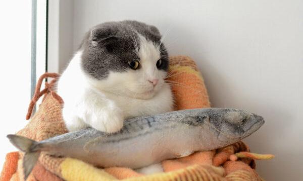凍った魚を抱えてる垂れ耳のスコティッシュフォールド