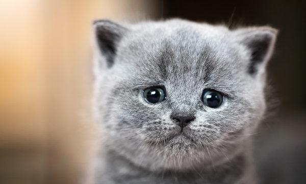 キャットフードを食べながら涙を流す灰色の猫