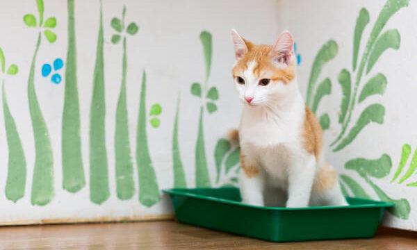 下腹部尿路でおしっこの出が悪くなってるクリーム色の猫