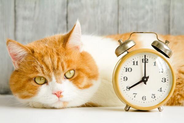 餌の時間を待っているオレンジ色で目が黄色い猫