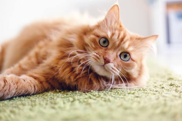 毛艶が綺麗になるキャットフードを食べている綺麗な猫が緑色の絨毯に横になっている